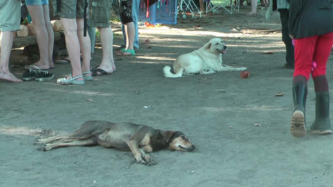 Two homeless dogs lying in the sand on the ground in... Stock Video Footage