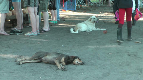 Two homeless dogs lying in the sand on the ground in Tortuguero, Costa Rica Live Action