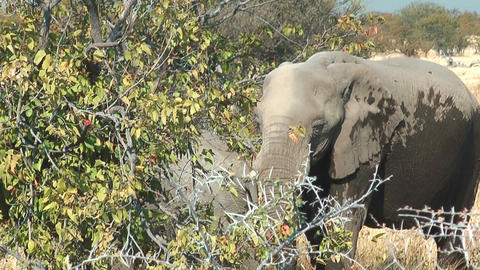 Elephant Eating At Bush stock footage