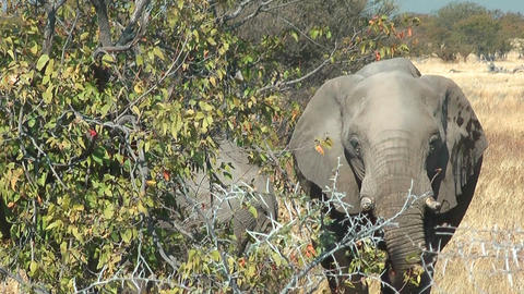 elephant eating at bush Stock Video Footage