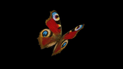 Peacock Butterfly - Back Angle Close-Up Loop + Alpha Stock Video Footage