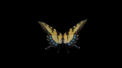 Swallowtail Butterfly I - Back Close-Up Loop + Alpha Stock Video Footage