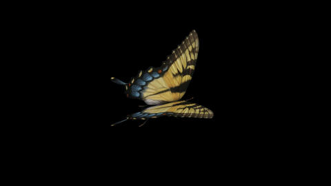 Swallowtail Butterfly I - Side Close-Up Loop + Alpha Stock Video Footage