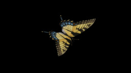 Swallowtail Butterfly I - Frong Angle Close-Up Loop + Alpha Stock Video Footage