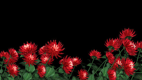Lower 3rd Flowers - Red Dahlia stock footage