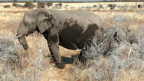 elephant with young in the bush Stock Video Footage