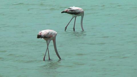 american flamingos feeding at salt flat in curacao Stock Video Footage