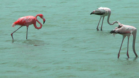 american flamingos feeding at salt flat in curacao Footage