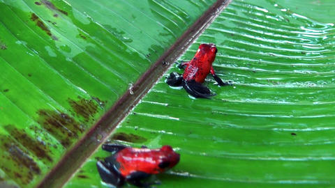 poison dart frogs sitting on a leaf Footage