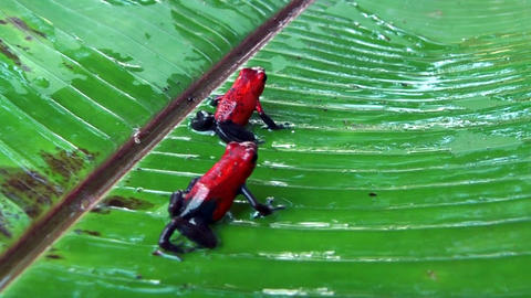 poison dart frogs sitting on a leaf Stock Video Footage