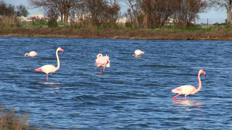 Flock of pink flamingos Stock Video Footage