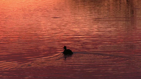 Duck floats on the surface of the water Footage