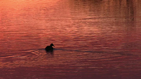 Duck floats on the surface of the water Stock Video Footage
