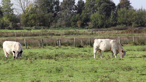 White galloway cows grazing on a meadow Stock Video Footage