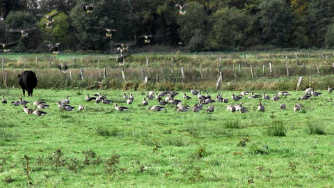 swarm of wild geese landing Stock Video Footage
