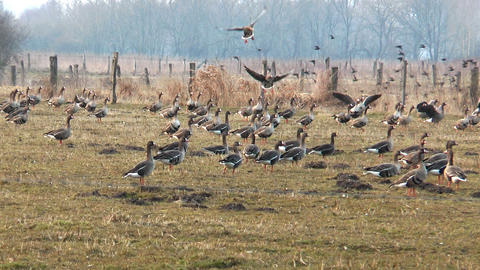 swarm of wild geese landing Stock Video Footage