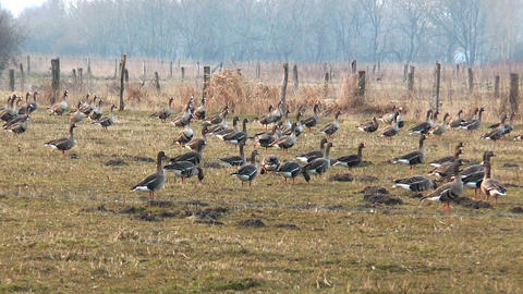 swarm of wild geese landing Footage