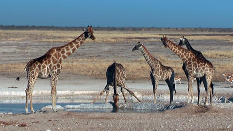 Group of Giraffes at waterhole in Etosha National Park Namibia Footage
