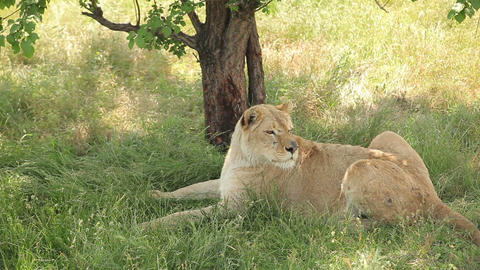 Lioness resting in the shade Footage