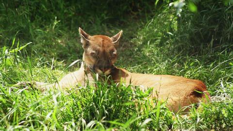 puma sleeping in the green grass Footage