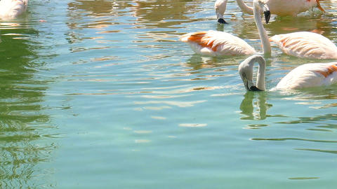 Flamingo Birds Swimming In River Water Footage