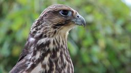 An immature peregrine falcon. Falco peregrinus Footage