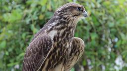 Young Peregrine falcon. Falco peregrinus. Bird of prey Footage