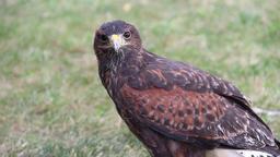Harris's hawk. Parabuteo unicinctus. Bird of prey Live Action