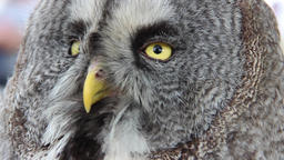 The great grey owl or great gray owl (Strix nebulosa) Footage