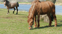 Horses grazing on a meadow near the river Footage