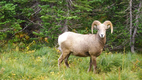 Healthy Male Ram Bighorn Sheep Wild Animal Montana Wildlife Footage