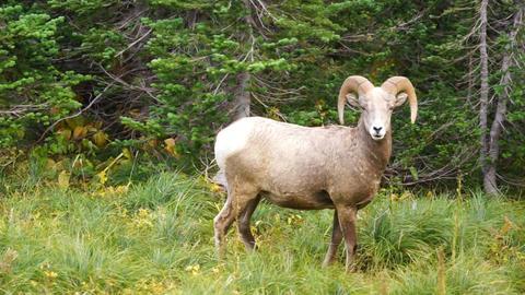 Healthy Male Ram Bighorn Sheep Wild Animal Montana Wildlife Footage