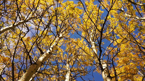 Trees Leaves Wind Blown Autumn Nature Scene Fall Color Footage