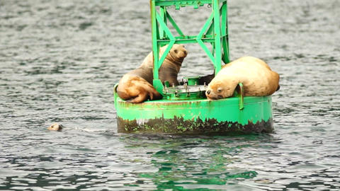Sea Lions Slumber Ocean Buoy Resurrection Bay Sea Wildlife Footage