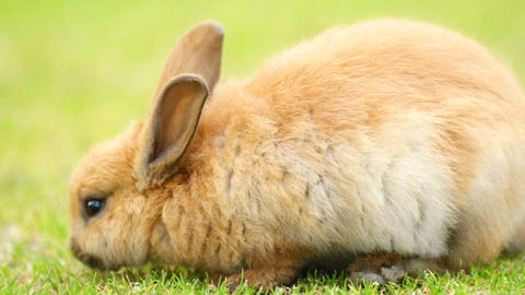 Wild Bunny Rabbit Grazing Grass Valdez Alaska Animal Wildlife Footage
