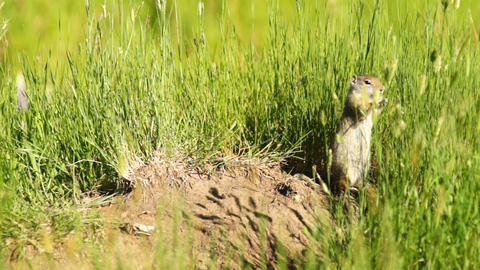 Prairie Dog Eating Grass Tetons National Elk Refuge Jackson Wyoming Footage