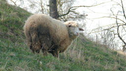 Sheep grazing on a pasture in a mountain terrain Live Action
