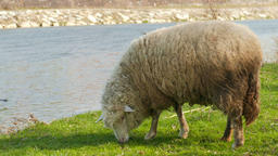 Sheep is grazing on a pasture near a river Footage