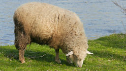 Sheep is grazing on a pasture near the Poprad river in Poland Live Action
