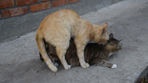 Mating domestic cats Footage