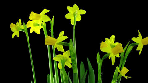 Time-lapse of yellow narcissus flowers in RGB + ALPHA matte format Footage