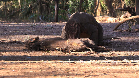 Komodo Dragon eats the victim Footage