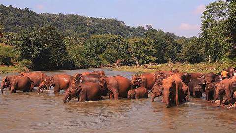 Elephants in the river Footage