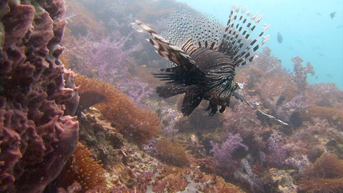 Exciting underwater diving in the Andaman sea. Thailand. Graceful lionfish Footage