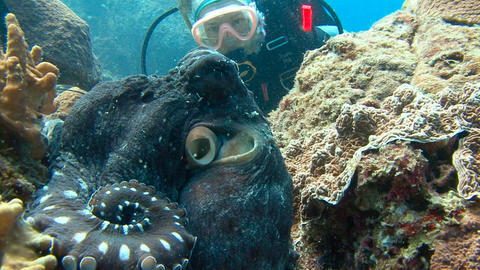Exciting underwater diving in the Andaman sea. Thailand. Octopus Footage
