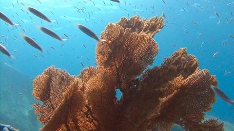 Exciting underwater diving in the Andaman sea. Thailand. Colorful coral reef. Go Footage