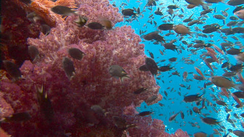 Exciting underwater diving in the Andaman sea. Thailand. Colorful coral reef Footage