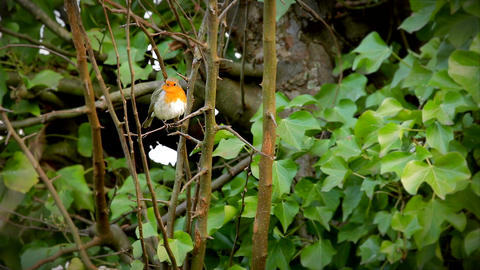 European robin red brest wiping beak on branche of tree Footage