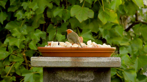 European robin, red little bird eating in garden Footage