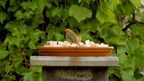 European robin, red little bird eating in garden Footage
